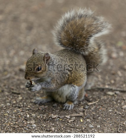 Grey squirrel at Tehidy Woods, Redruth, Cornwall, England