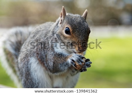 Grey squirrel eating a nut - stock photo