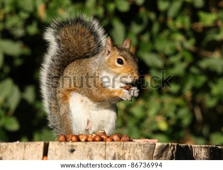 Grey Squirrel eating Hazelnuts on an old tree stump in Autumn - stock photo