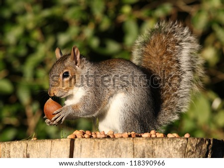 Grey Squirrel feeding on Chestnuts in Autumn - stock photo