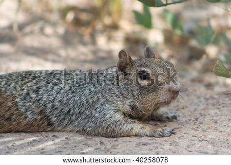 Grey squirrel laying on path - stock photo