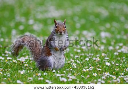 Grey squirrel, Sciurus carolinensis - stock photo