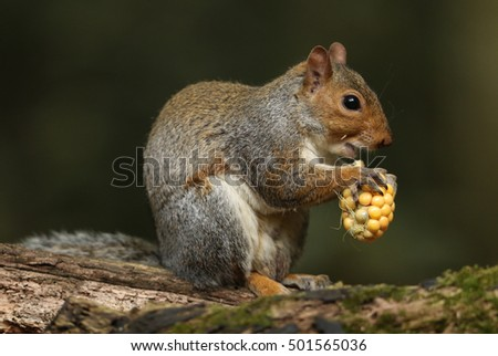 Grey Squirrel  (Sciurus carolinensis) eating a corn on the cob.