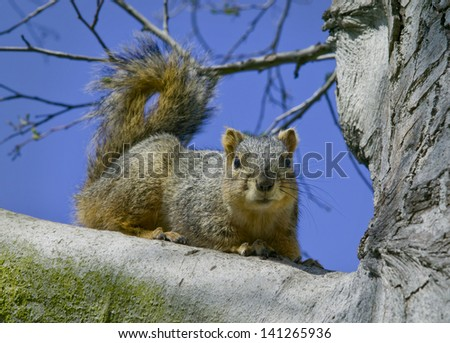 Grey squirrel sitting on tree branch with clear blue sky in background - stock photo