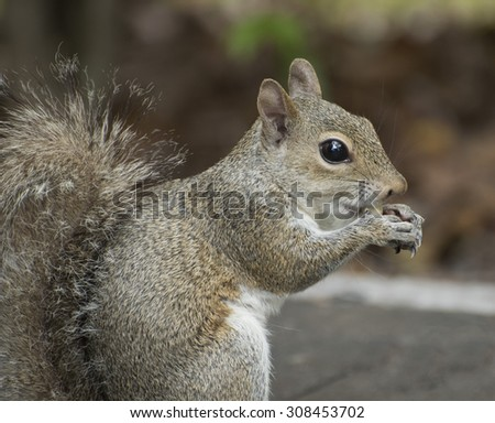 Grey squirrel with large black eye close up eating a peanut while sitting on a grey sidewalk against a blurred brown and green background. - stock photo