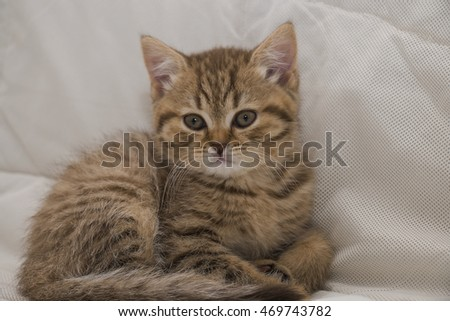 grey striped British kitten
