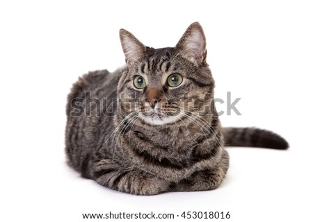 Grey striped domestic shorthair tabby cat with green eyes sitting down isolated on white