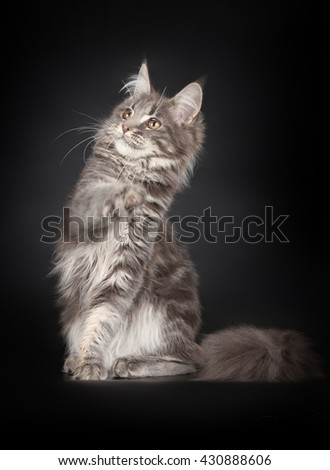 Grey stripped maine coon playing - stock photo