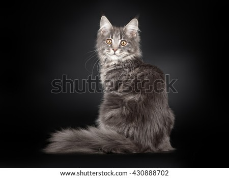 Grey stripped maine coon sitting on black background - stock photo