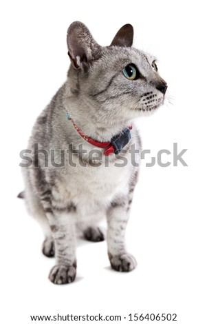 grey tabby cat isolated on a white background looking hungry  - stock photo