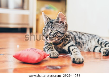 Grey tabby cat with pretty striped markings lying indoors on a wooden floor with a red stuffed toy lifting its head to look at the camera - stock photo
