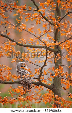 Grey Ural Owl, Strix uralensis, sitting on tree branch, at orange leaves oak autumn forest, bird in the nature habitat, France - stock photo