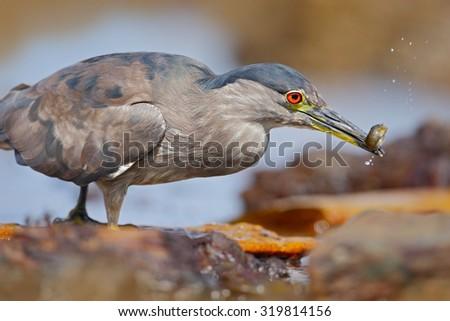 Grey water bird night heron sitting on the stone, in the water, fish in the bill - stock photo