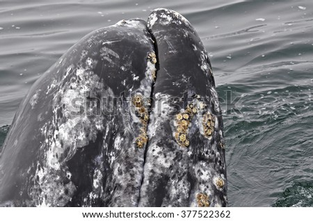 Grey whale surfacing from the Pacific near Tofino on Vancouver Island, Canada. - stock photo