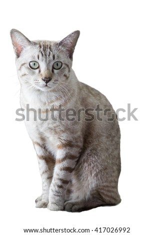 Grey white kitten male sit looking, isolated
