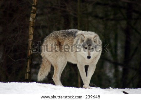 Grey Wolf 6 - stock photo