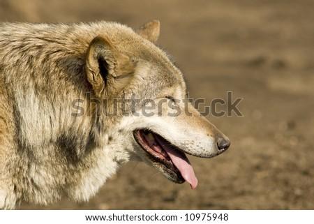 Grey wolf blinking at sun - stock photo