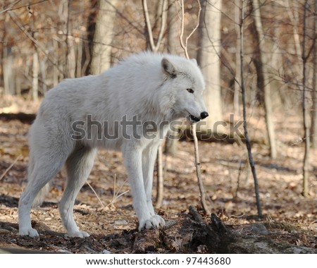 Grey Wolf (Canis lupus) - stock photo