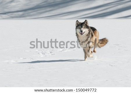 Grey Wolf (Canis lupus) Comes Running  - captive animal - stock photo