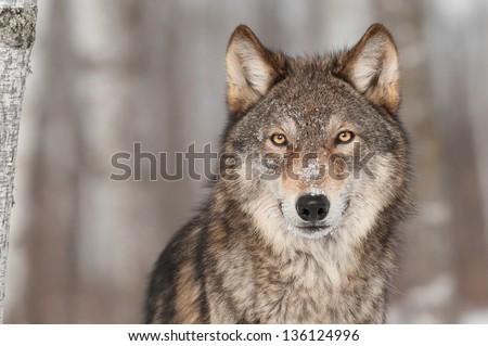 Grey Wolf (Canis lupus) Portrait - captive animal - stock photo