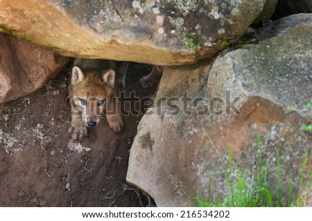 Grey Wolf (Canis lupus) Pup Creeps out of Den - captive animal - stock photo