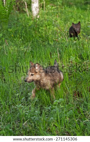 Grey Wolf (Canis lupus) Pup Runs Through Wet Grass - black wolf pup in background - captive animals - stock photo
