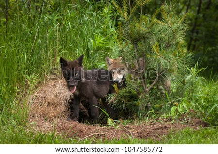 Grey Wolf (Canis lupus) Pups Behind Pine - captive animals