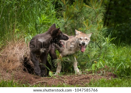 Grey Wolf (Canis lupus) Pups Mouths Open - captive animals