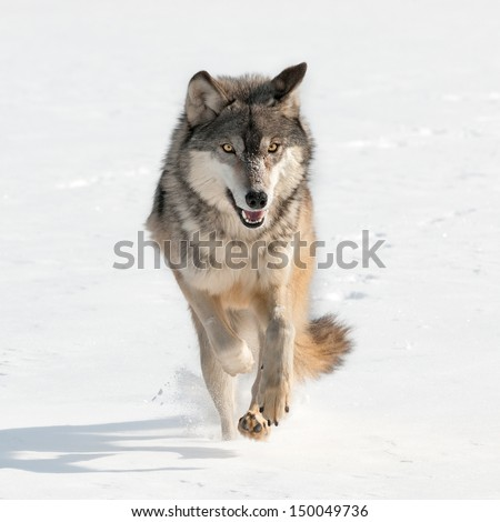 Grey Wolf (Canis lupus) Running Straight at Viewer - captive animal - stock photo