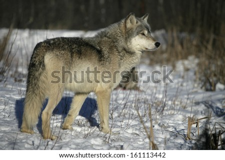Grey wolf, Canis lupus, single mammal on snow, captive,