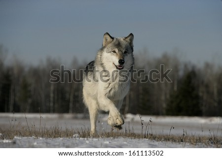 Grey wolf, Canis lupus, single mammal running on snow, captive,          - stock photo