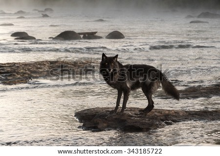 Grey Wolf (Canis lupus) Stands on Rock in Misty River - captive animal