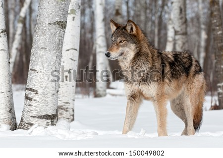 Grey Wolf (Canis lupus) Stands Towards Left - captive animal - stock photo