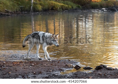 Grey Wolf (Canis lupus) Walks Along Riverbank - captive animal