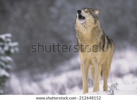 Grey Wolf Howling in Snowstorm - stock photo
