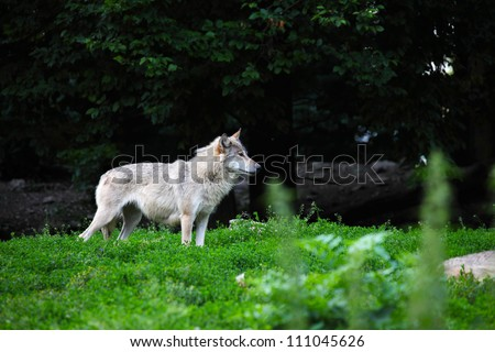 Grey wolf in natural - stock photo