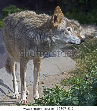 Grey wolf. Latin name - Canis lupus