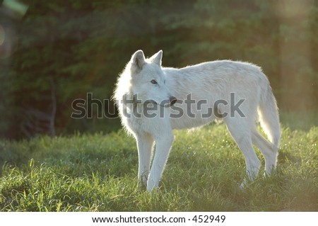 Grey Wolf looking back - stock photo