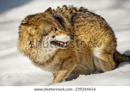 Grey wolf portrait on the snow background - stock photo