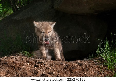 Grey Wolf Pup (Canis lupus) Climbs out of Den with Piece of Meat - captive animal - stock photo