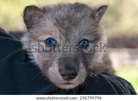 Grey Wolf Pup (Canis lupus) Head on Shoulder - captive animal - stock photo