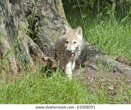 Grey wolf pup (canis lupus) practices his stalking skills in the forest. - stock photo