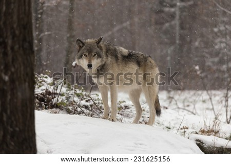 Grey Wolf (Timber Wolf) - stock photo