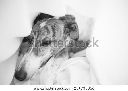 Greyhound - stock photo