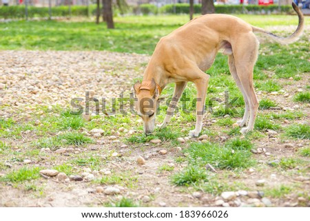 greyhound dog in park sniffing and playing - stock photo