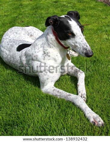 Greyhound dog lying down on green grass - stock photo
