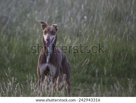 Greyhound dog spotted in Bull Island, Dublin - stock photo