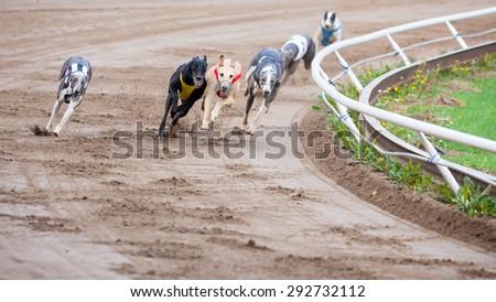 Greyhound dogs racing - stock photo