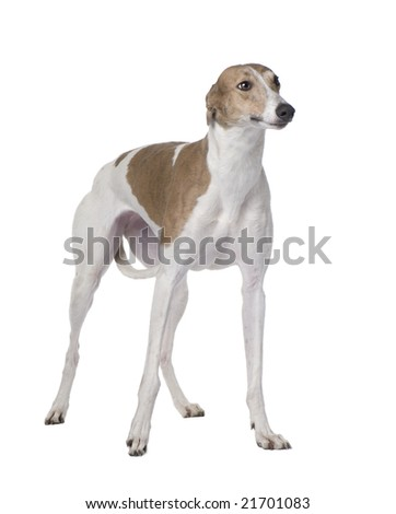 Greyhound (15 months) in front of a white background