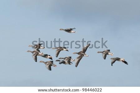 Greylag geese (Anser anser) flying - stock photo